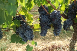 Ripe and ready grapes at Doccia al Poggio vineyard