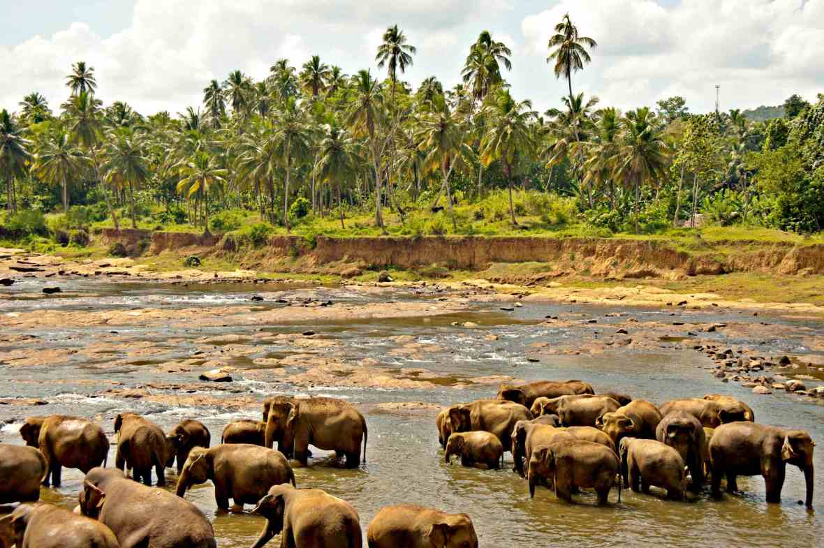 Bathing_elephants._Udawalawe_National_Park._Sri_Lanka
