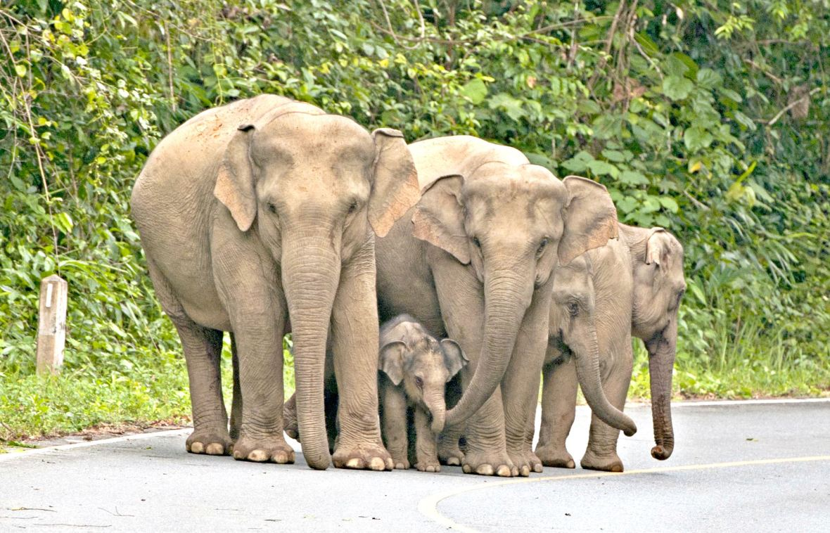 khao yai elephants