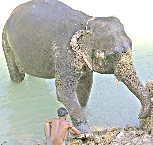 mahout and his ele